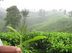roślina herbaty - sklep kimvita