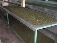 fermentacja herbaty - sklep kimvita